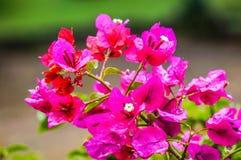Magenta bloemen Royalty-vrije Stock Foto