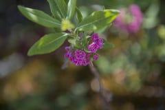 Magenta bloemen Royalty-vrije Stock Foto's