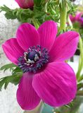 A magenta blooming anemone flower Stock Image