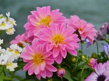 Magenta blooming Dahlia flowers Stock Photos