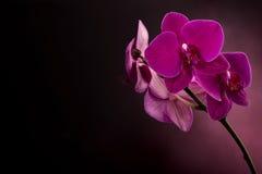 Magenta blossom phalaenopsis at right side of dark Stock Photo