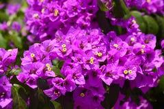 Magenta bougainvillea flowers Stock Photo