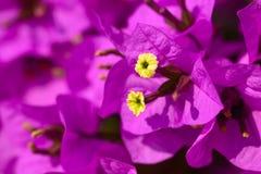 Magenta bougainvillea flowers Stock Images