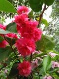Magenta bougainvillea Kolorowy kwiat Bierze czas Wąchać kwiaty zdjęcia stock