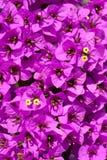 Magenta Bougainvillea kwiaty Obrazy Stock