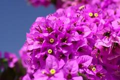 Magenta Bougainvillea kwiaty Obraz Stock