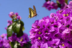 Magenta Bougainvillea kwiaty Zdjęcia Royalty Free