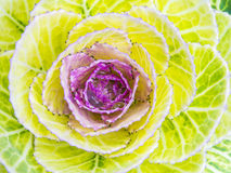 Magenta cabbage in the garden showing natural random lines Stock Photography