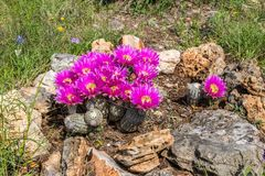 Magenta Cactus Flowers Blooming. Texas cactus flowers blooming in the rock garden. Beetles gather the pollen from the flowers stock photography