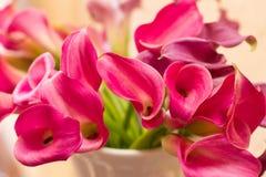 Magenta Calla Lelies stock afbeeldingen