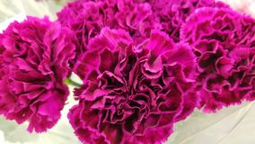 Magenta Carnations royalty free stock images