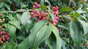 Magenta Cherry Tree stock videobeelden