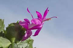 A Magenta Christmas Cactus Flower against a Blue Sky royalty free stock photo