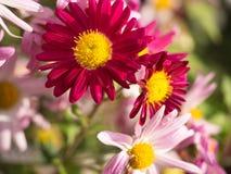 Magenta Chrysantenbloemen in de tuin Royalty-vrije Stock Fotografie