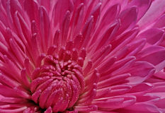 Magenta chrysanthemum Royalty Free Stock Photos