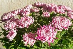 Magenta chrysanthemum flowers Stock Photo