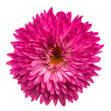 Magenta chrysanthemum isolated Stock Images