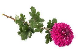 Magenta chrysanthemum Royalty Free Stock Photography