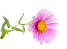 Magenta chrysanthemum Royalty Free Stock Photo