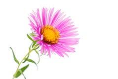 Magenta chrysanthemum Stock Photo