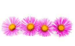 Magenta chrysanthemum Stock Images