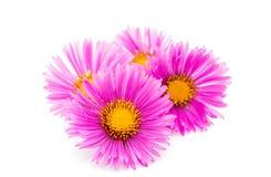 Magenta chrysanthemum Stock Photography