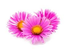 Magenta chrysanthemum Royalty Free Stock Images