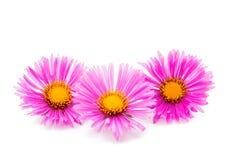 Magenta chrysanthemum Royalty Free Stock Image