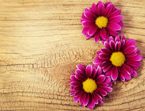 Magenta Chrysanthemums Flowers on wooden background Royalty Free Stock Images