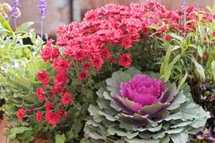 Magenta chrysanthemums and ornamental kale Royalty Free Stock Image