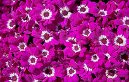 Magenta Cineraria Flower Texture Stock Photo