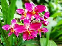 Magenta color orchid flower close up nature background. Magenta color orchid flower close up with green leaves nature background royalty free stock photo