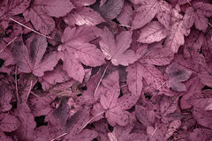 Magenta colored autumn leaves Royalty Free Stock Photos