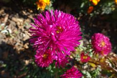 Magenta colored flowerhead of china aster. Magenta colored flower head of china aster Stock Photo