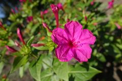 Magenta colored flower of Mirabilis jalapa. Plant Royalty Free Stock Photography