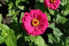 Magenta colored flowerhead of youth-and-age plant Royalty Free Stock Photos