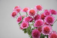 Magenta daisies. Several magenta flowers, several magenta daisies Royalty Free Stock Images