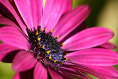 Magenta daisy. With yellow pollen - closeup Stock Photography