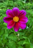 Magenta daisy flower on green background Royalty Free Stock Images