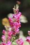 Magenta de fleur de muflier sur le fond trouble Image stock