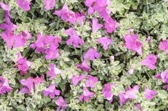 Magenta de la flor Fotos de archivo libres de regalías