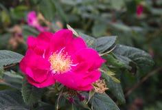 Magenta dog rose Stock Photo