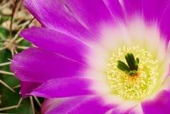 Magenta echinocereus cacti flower. Beautiful bright echinocereus cacti flower royalty free stock images