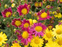 Magenta en gele chrysantenbloemen royalty-vrije stock afbeeldingen