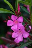 Magenta en Purpere Oleander Stock Foto's