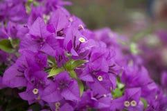 Magenta flors Stock Photo