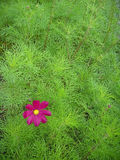 Magenta flower. Against green background Royalty Free Stock Photography