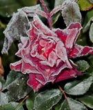 Magenta flower Stock Photos