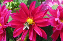 Magenta Flower and Bee Stock Photography
