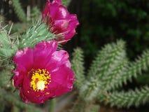 Cylindropuntia imbricata with magenta flower. Magenta flower close up of Cylindropuntia imbricata cactus royalty free stock photos